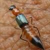 Không khó để phòng trừ kiến ba khoang