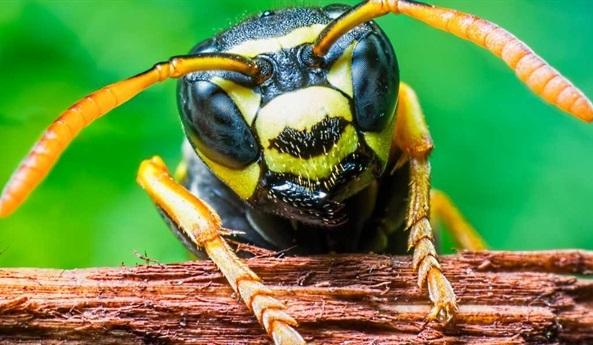 Nọc độc ong bắp cày có thể giết chết tế bào ung thư mà không làm hại tế bào khác