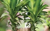11 loại cây cảnh hút khí độc cực tốt bạn nên trồng trong nhà