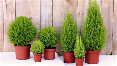 Những loại cây trồng trong nhà giúp xua tan mệt mỏi, căng thẳng nhờ hương thơm dịu nhẹ