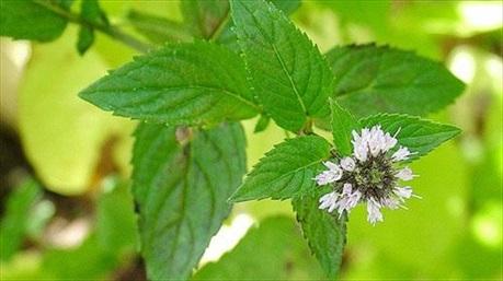 Công dụng đa năng chữa bệnh và làm đẹp của lá hương nhu