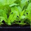 Trồng những loại rau này tại nhà, dù mùa đông cũng không sợ thiếu rau sạch