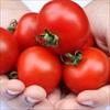 Cà chua nên ăn sống hay chín thì tốt?